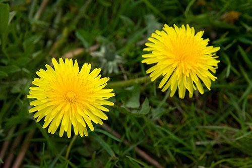 Dandelions Midlothian glyphosate