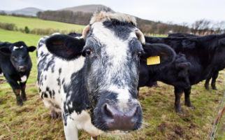 Jim Telfer with Family Cows Headline